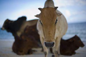 Kor på Zanzibar